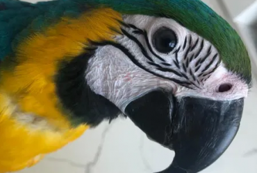 blue and gold macaw is missing in the GBR area, please call Show Phone Number